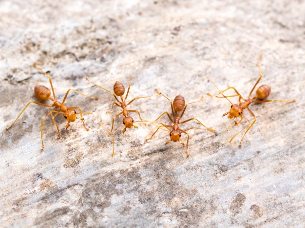 уничтожение рыжих муравьев
