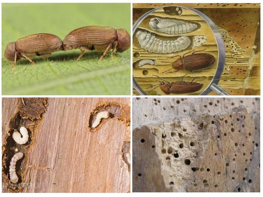 Уничтожение жуков-древоточцев в Феодосии